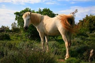 Polodivocí koně, Humac, Hvar