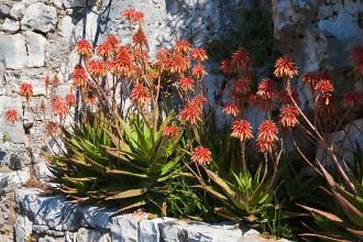 Příroda na Hvaru – Aloe